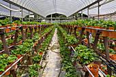Produktion von Erdbeeren im Folientunnel