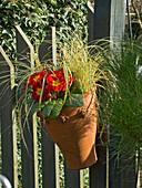 Rote Primel und Segge im Topf am Zaun