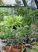Gemüse und Kräuter im Gewächshaus