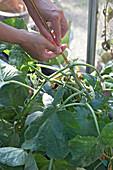 Gurkenpflanze im Gewächshaus entfernen