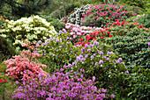 Blühende Rhododendron - Büsche in verschiedenen Farben