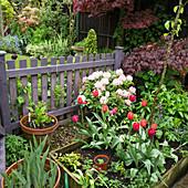 Rhododendron, Fächerahorn und Tulpen am Gartenzaun