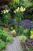 Töpfe mit blühenden Lilien 'Golden Splendor' neben Gartentor