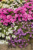 Schneeflockenblume Scopia 'Great Violet Magic' 'Great White Improved' und Calitunia 'Pink', eine Kreuzung aus Petunie und Zauberglöckchen