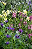 Frühsommer-Beet mit Akelei, Königskerze und Flockenblume
