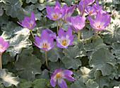 Blüten der Herbstzeitlose zwischen Frauenmantel