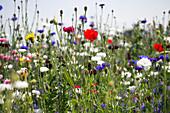 Blumenwiese mit Kornblumen und Klatschmohn
