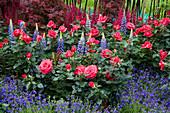 Beet mit Rosen, Lupinen und Männertreu
