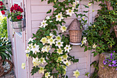 Clematis florida 'Alba Plena' am Gartenhaus