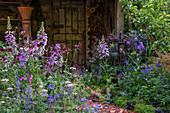 Blau-violetter Garten mit Fingerhut, Akelei, Storchschnabel und Kratzdistel