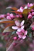 Blüten von Zierapfel - Blutapfel 'Eleyi'