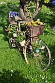 Altes Fahrrad als Dekoration mit Stiefmütterchen und Geranien
