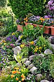 Steingarten mit Stiefmütterchen und Hornveilchen