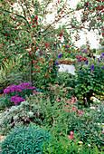 Herbst im Garten mit Zierapfelbaum, Astern, Eisenhut und Chrysantheme