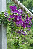 Klematis 'Etoile Violette'