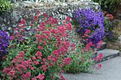 Rote Spornblume und Polsterglockenblume
