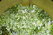 Ramblerrose 'Sander's White Wonder'