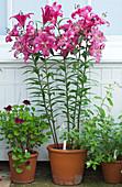 Orientalische Lilie 'Robina' und Geranie 'Merlot Red'