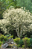 Lackbaum oder Lacksumach im Frühling