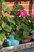 Stehende Geranie mit pinken Blüten