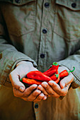 Gardener harvesting ripe chili peppers