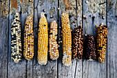 Colorful corn cobs