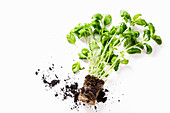 Basil plant with ground isolated