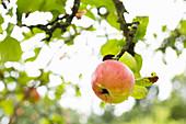 Einzelner Apfel mit Regentropfen am Baum