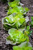 Lettuce in salad bed