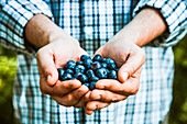 Farmers hands with freshly harvested blueberries