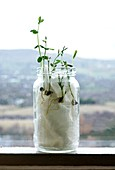 Sweet pea seedlings growing in a jar