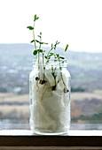 Sweet pea seedlings growing in a jar