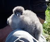 Manx shearwater chick
