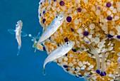 Fish and Mediterranean jellyfish