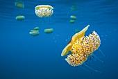 Mediterranean jellyfish