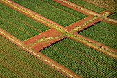 Fields of genetically modified crops, Hawaii