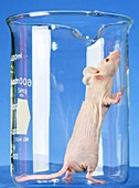 Nude laboratory mouse