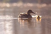 Female Mallard and young