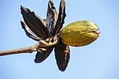 Pecan nut on a pecan tree