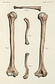 Clavicle and humerus bones, 1866 illustrations