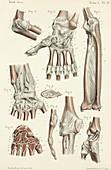 Elbow and wrist anatomy, 1866 illustrations