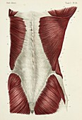 Back and buttock muscles, 1866 illustration