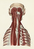 Third layer of back and neck muscles, 1866 illustration