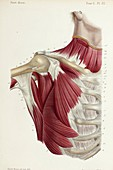 Second layer of chest-shoulder muscles, 1866 illustration