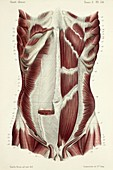 Second layer of abdominal muscles, 1866 illustration