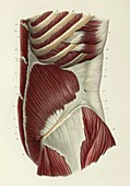 Second layer of lateral abdominal muscles, 1866 illustration