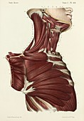 Second layer of neck and chest muscles, 1866 illustration