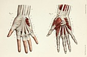 First two layers of hand muscles, 1866 illustrations