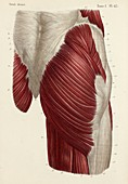 Buttock muscles, 1866 illustration