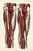 Rear thigh muscles, 1866 illustrations